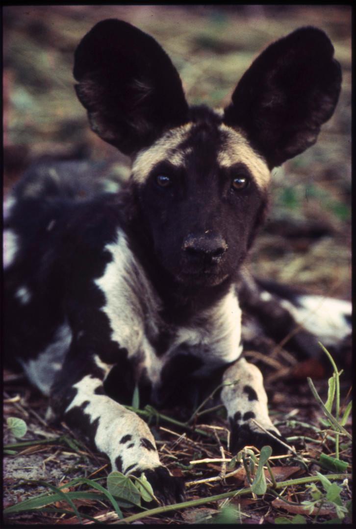 Lycaon Pictus, Hwange National Reserve, Zimbabwe, 1990