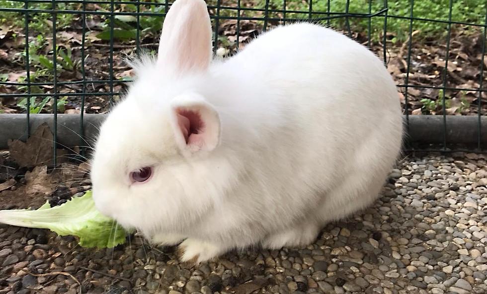 Coniglio della fattoria