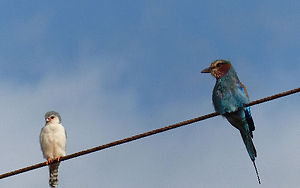 Bird Ethiopia