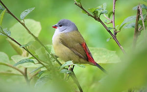 Yellow-bellied_Waxbill_Swee.JPG