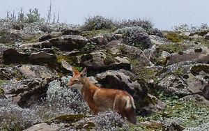 Wolf Ethiopia