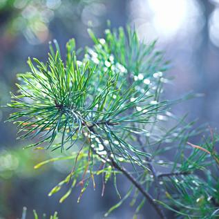 Pine Needle Branch.jpg
