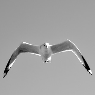 Gull BW.jpg