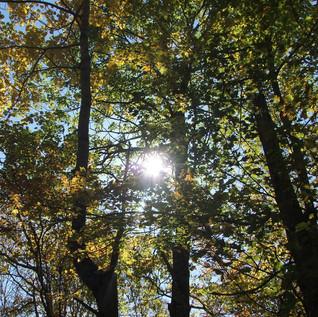 Sun in leaves.jpg