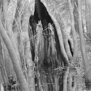 bw tree root in opening.jpg