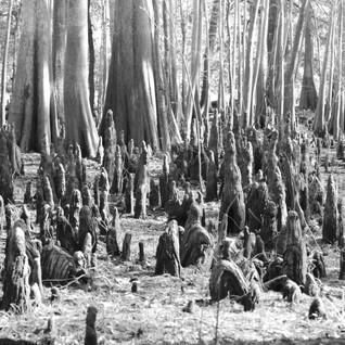 BW Tree Stumps.jpg