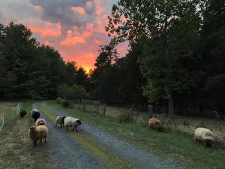 Housewarming Sheep