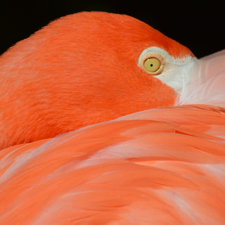 Flamingo Eye.jpg