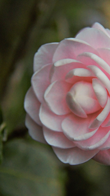 pinkcamellia.tft.jpg