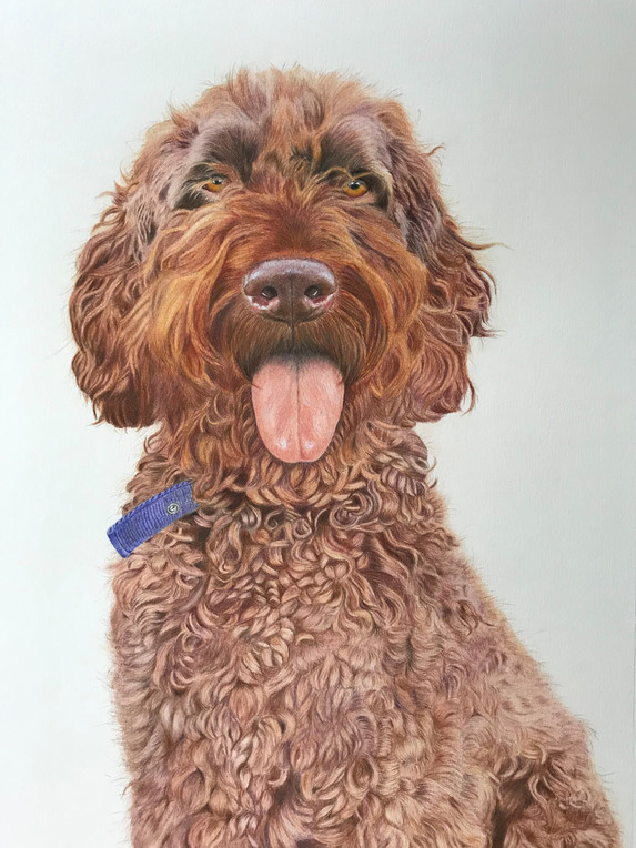 Pet Portrait - Finn, Springerpoo