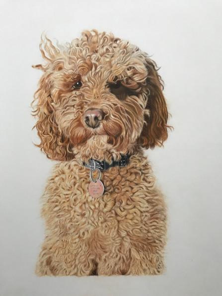 Pet Portrait - Toffee, Cockerpoo