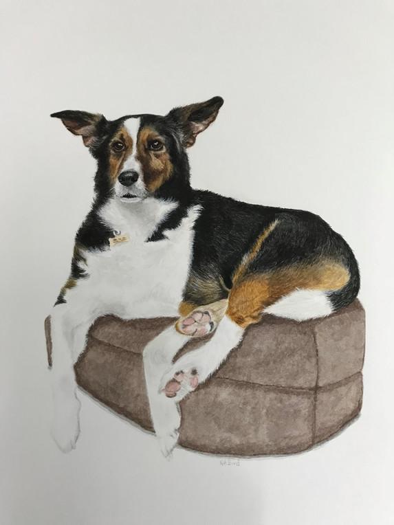 Pet Portrait - Dobby, Collie Cross
