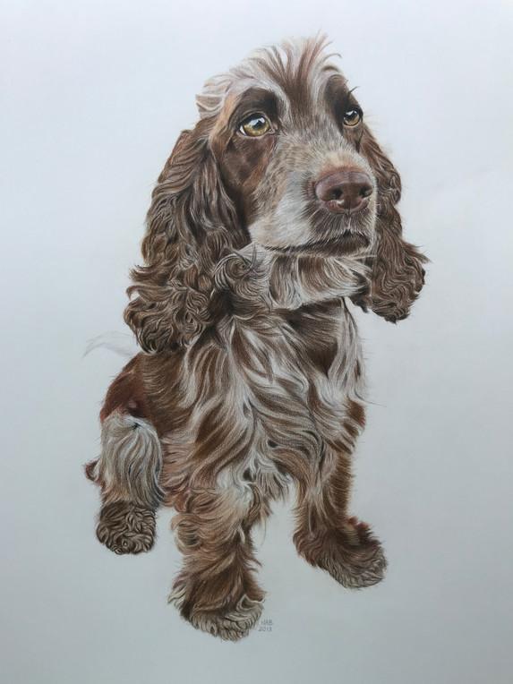 Pet Portrait - Cookie, Spaniel
