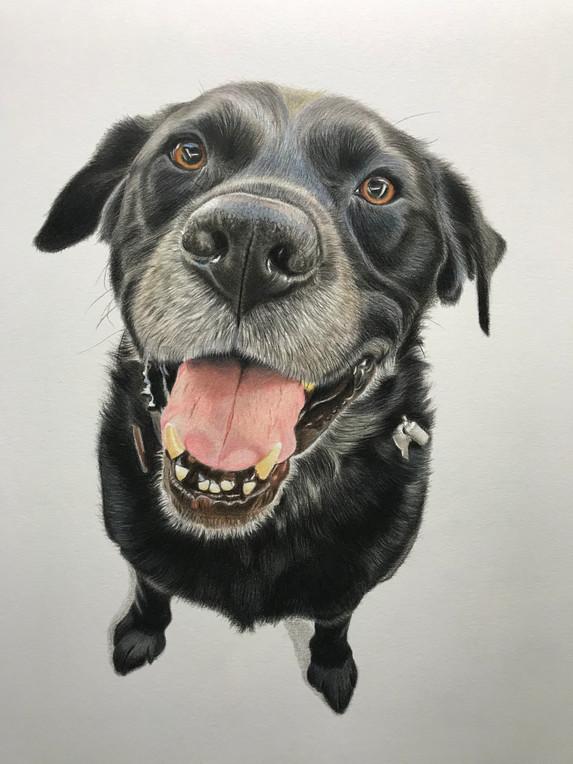 Pet Portrait - Dawson
