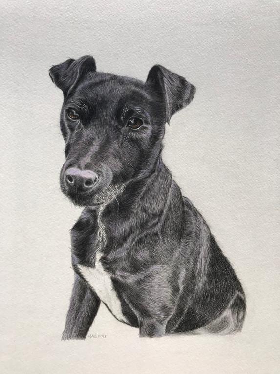 Pet Portrait - Ellie, Patterdale Terrier