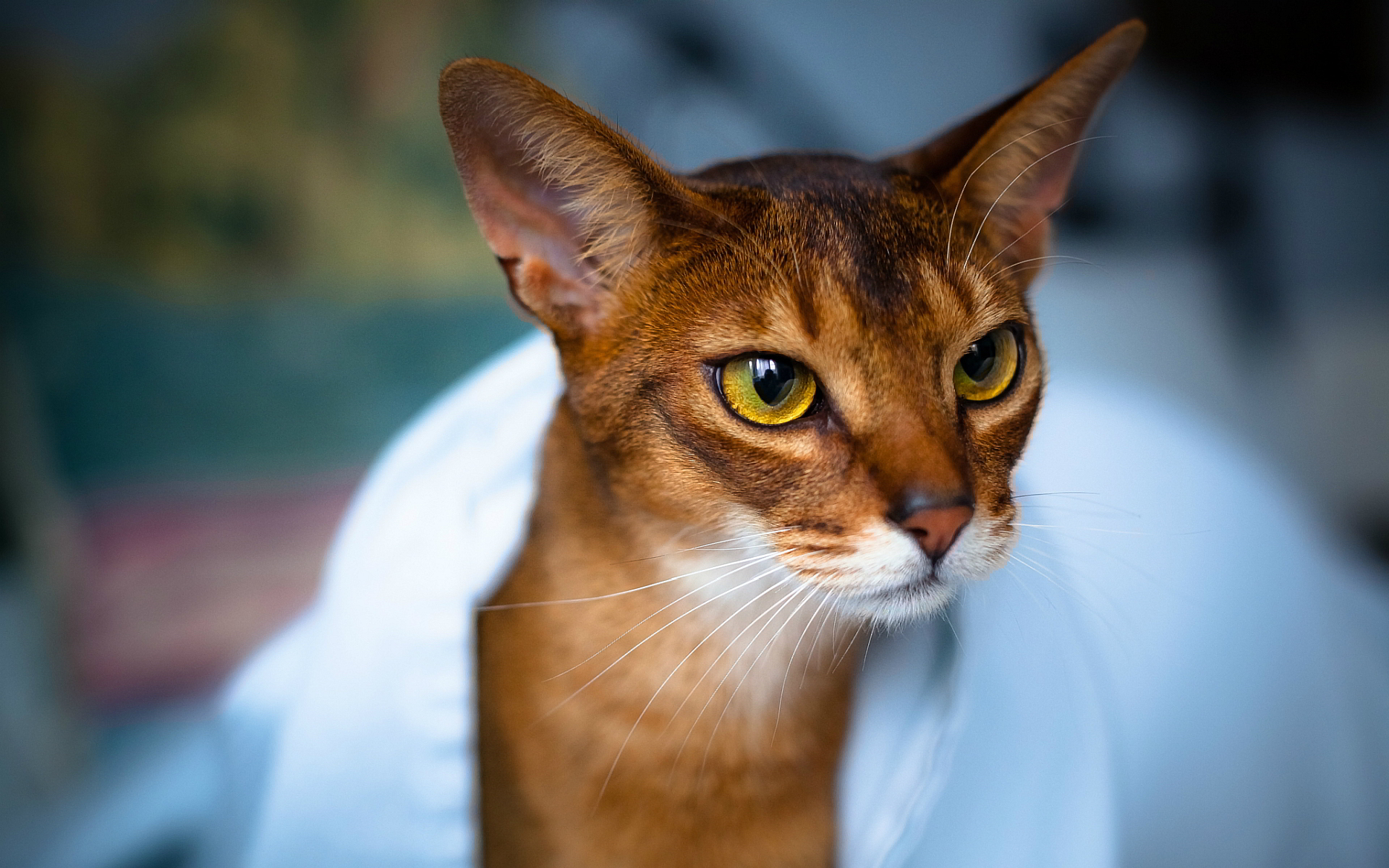 Abyssinian cat breeders nsw – Popular breeds of cats photo blog