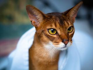 Top 5: Most popular cat breeds in Australia