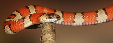 king-snake-502263_1920.jpg