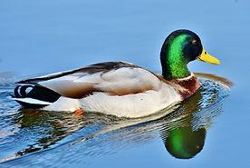 duck-3648416_1920.jpg