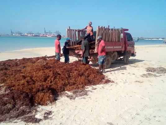 Ayuntamiento de Boca Chica retira 500 toneladas de sargazo que arropaban la playa