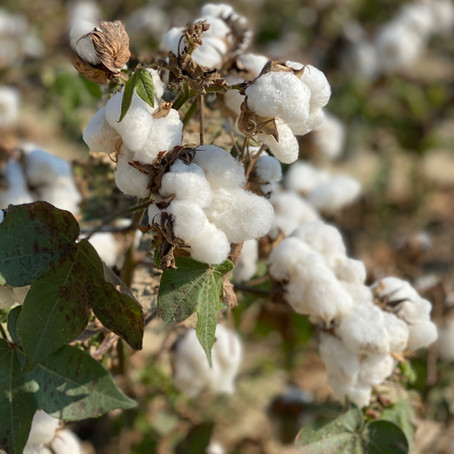 Cotton- the fabric of our lives...or not?
