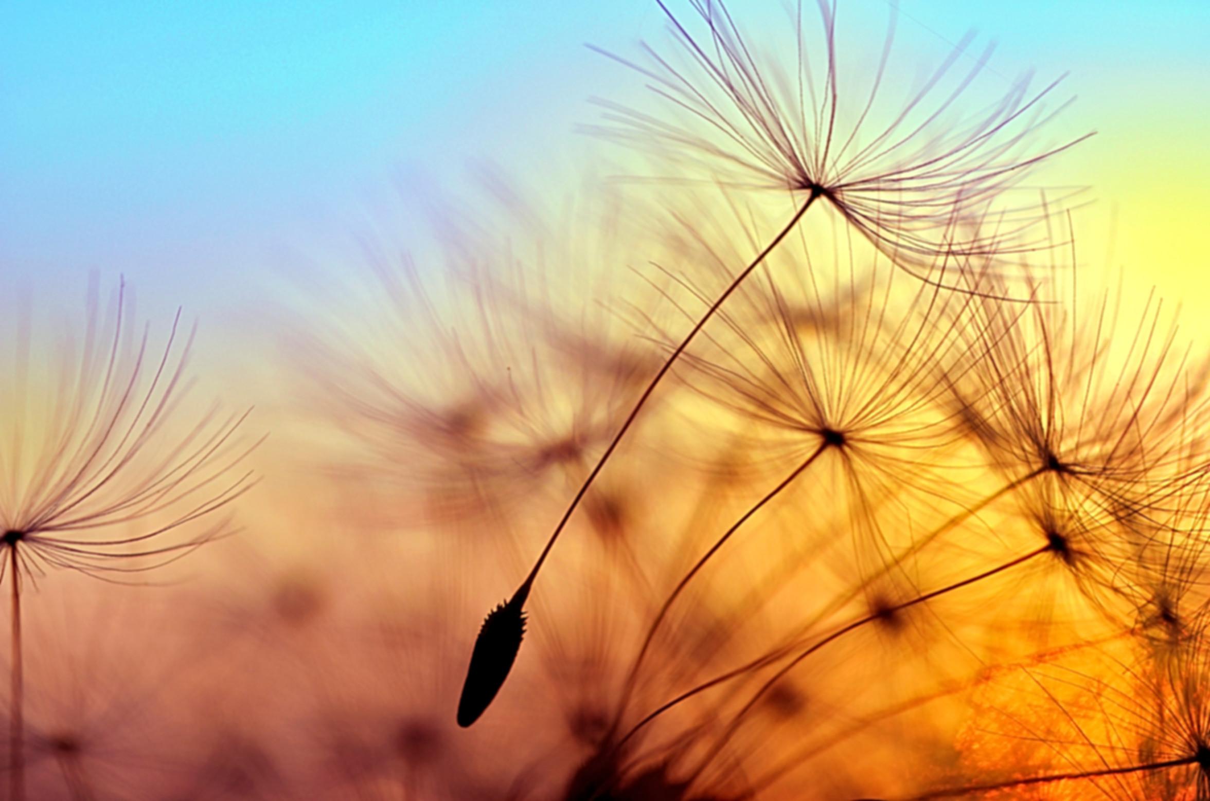 Spring dandelion in the light of setting