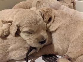 Chessa Bubba Puppies 2 wks old.jpg