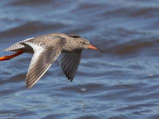 Mating Redshank - Moor Green Lakes