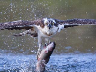 Cairngorms 30th April. Osprey~Ptarmigan~Black+Red Grouse