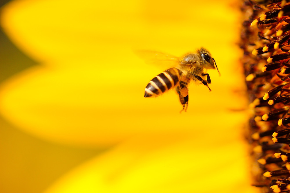 Foto abeja acercándose al panal