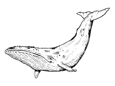 whale.psd-01.png