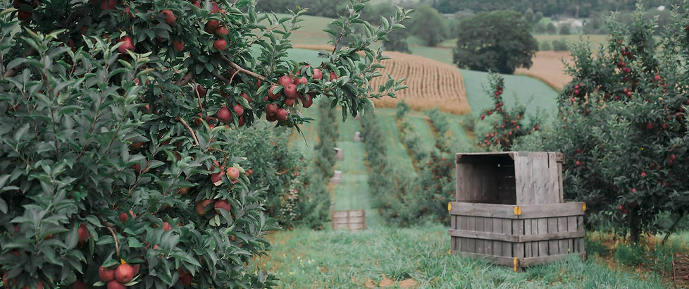 Red apples; orchard rows; stacked apple bins; rolling hillside.