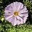 Thumbnail: Graines : faites pousser nos cosmic flower dans votre maison !