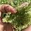 Thumbnail: Graines : carotte sauvage, la petite maison dans la prairie