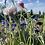 Thumbnail: Graines : faites pousser un arc-en-ciel de bleuets !