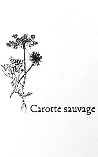 Graines : carotte sauvage, la petite maison dans la prairie