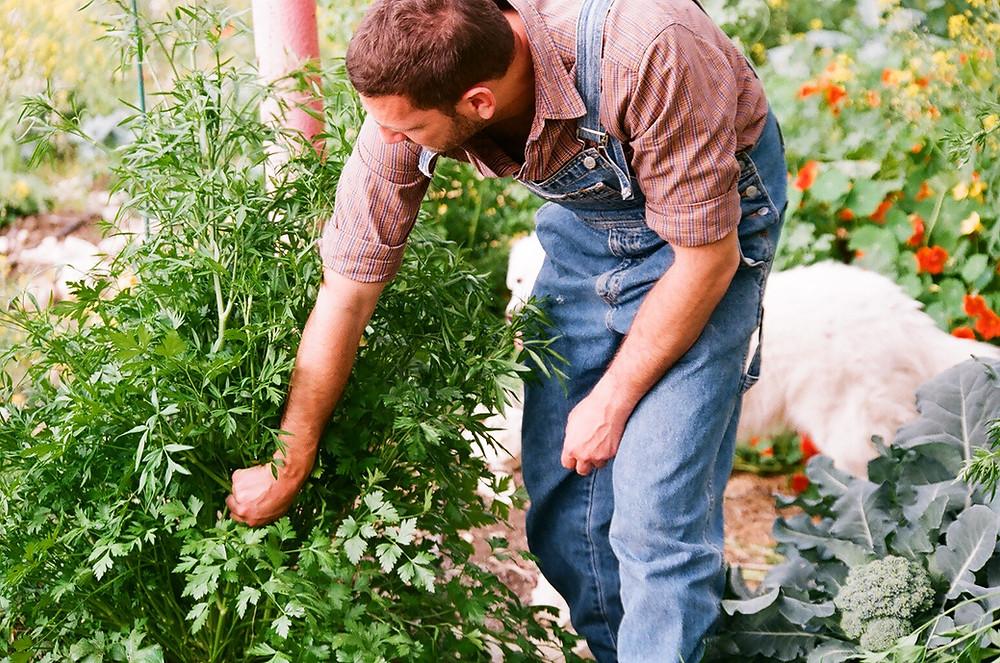 Picking herbs for distillation