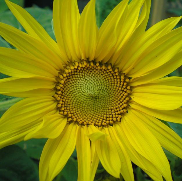Art Card - Sunflower