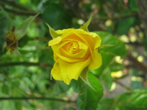 Art Card - Yellow Rose