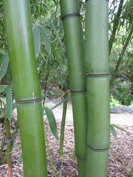 Art Card - Bamboo
