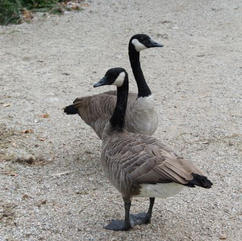 Art Card - Geese Pair