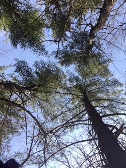 Looking skyward at trees