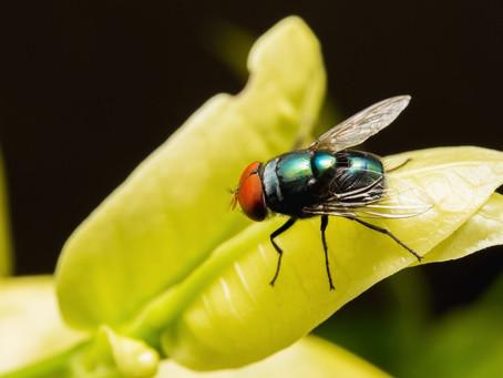Recette de répulsif à mouches naturel