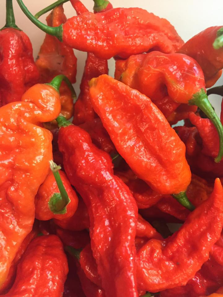 Ghost Peppers from our November 2016 Harvest