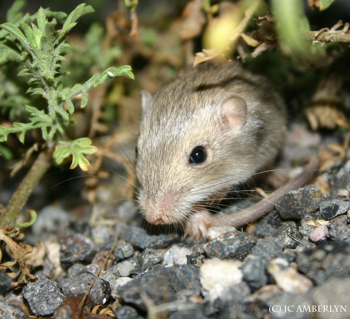 Desert Pocket Mouse