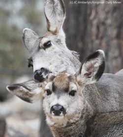 Mule Deer Doe Grooms Fawn