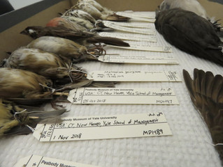 Hundreds of birds die from striking SOM windows, new data shows