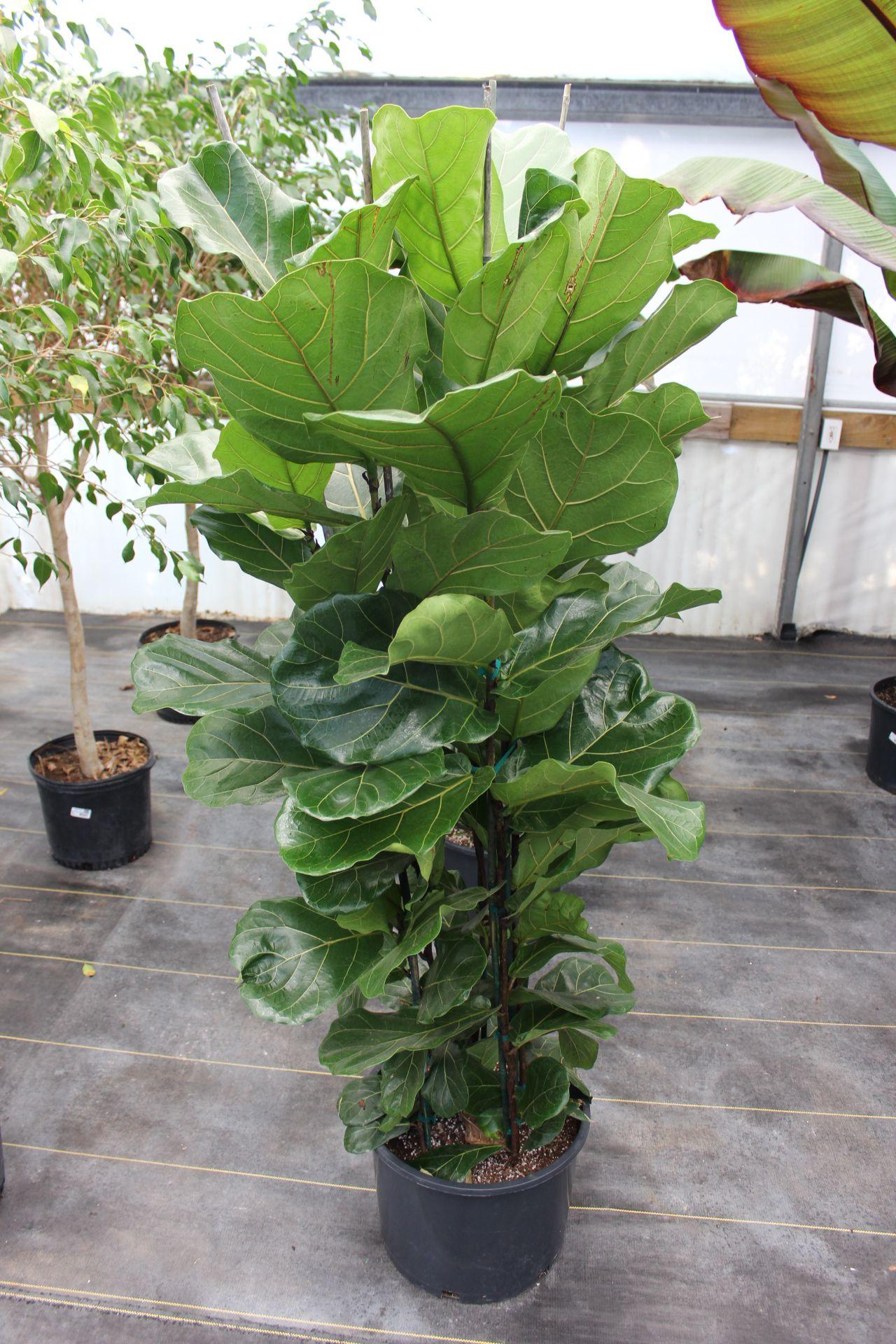 Ficus 'Lyrata'