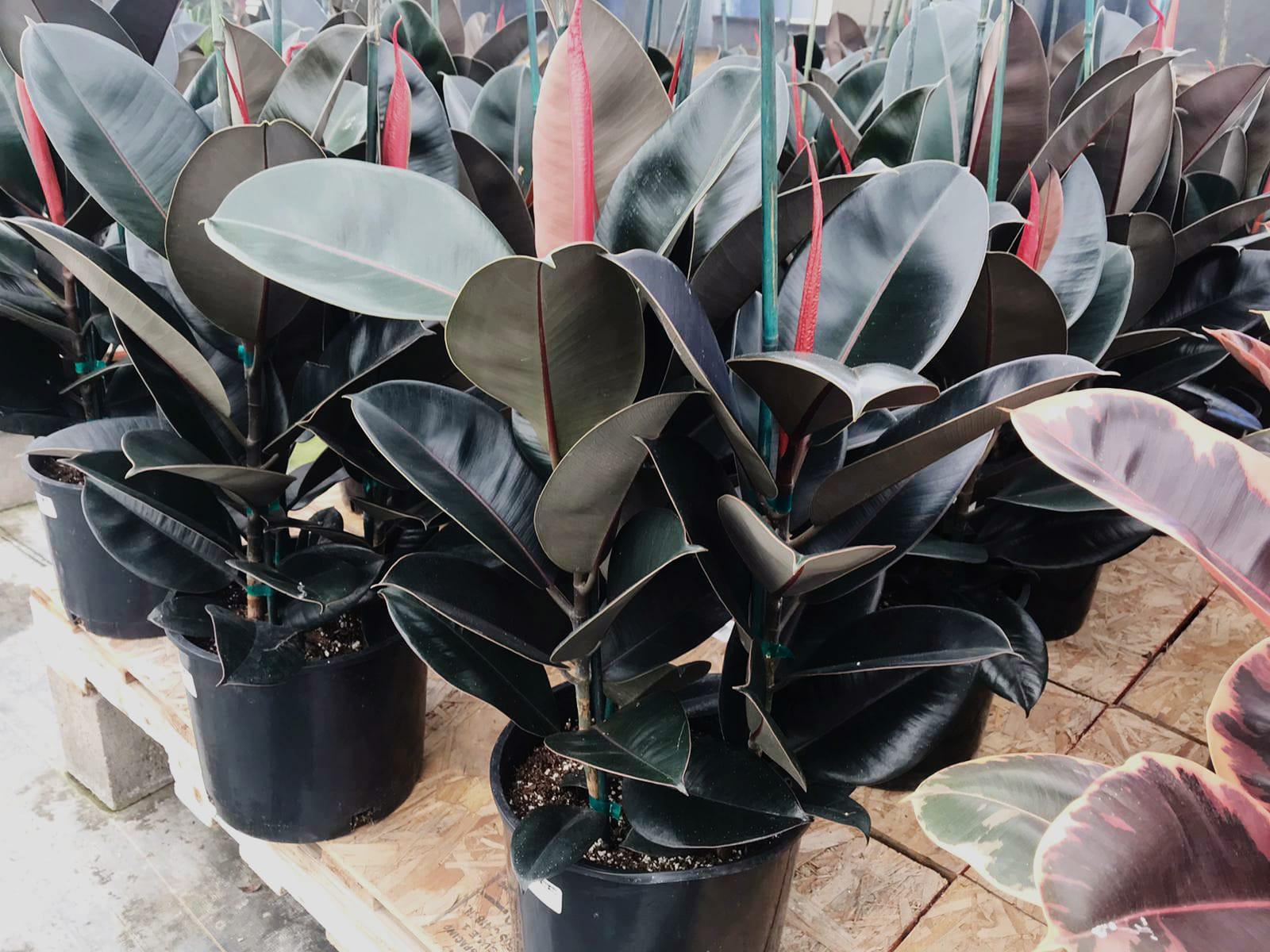 Ficus 'Decora Burgandy'