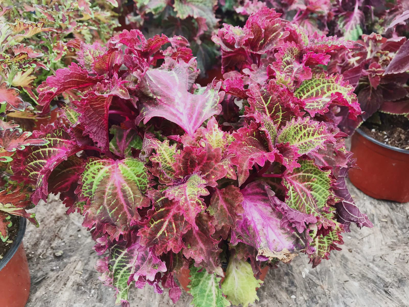 Coleus 'Peter's Wonder